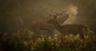 faune de l'Allier : brame du cerf © Formisano