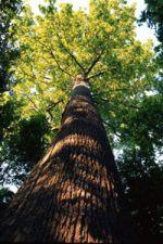 chêne foret de tronçais © R. Lacroix